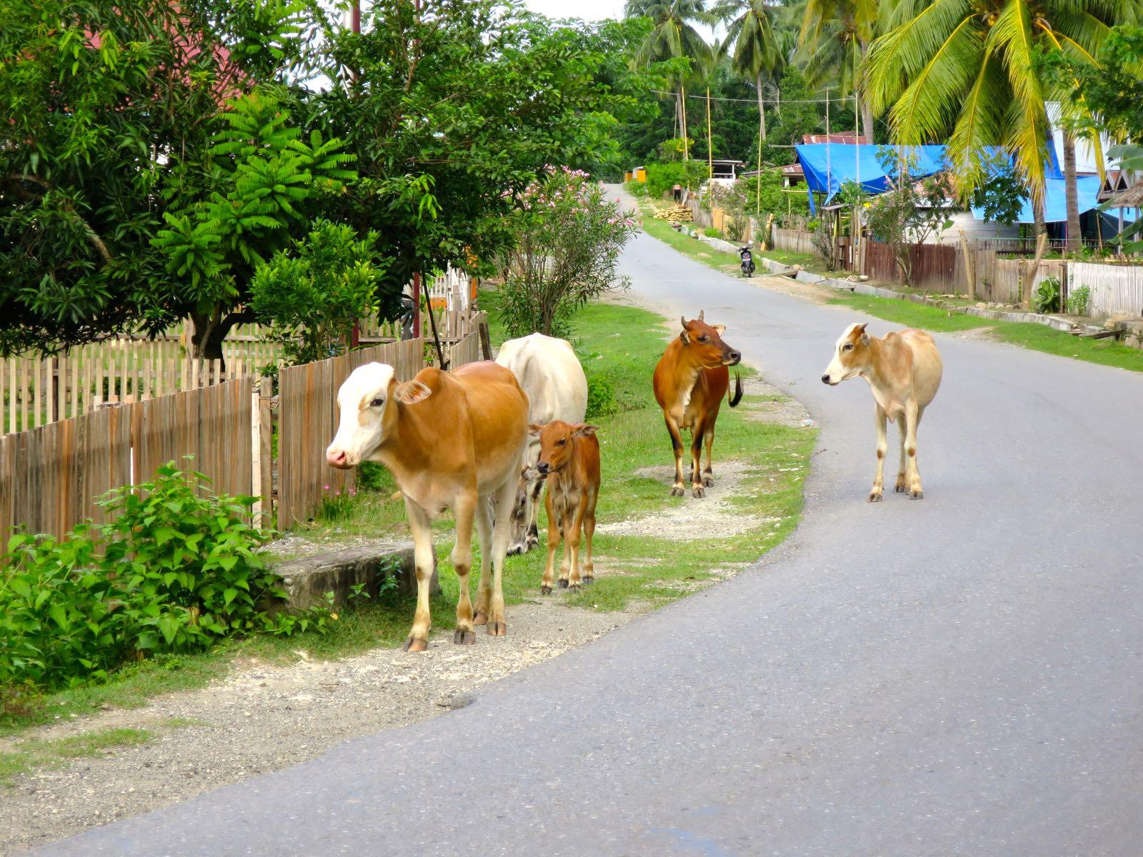Välillä Luwuk - Ampana lehmät ja vuohet tiellä hidastivat vähän matkantekoa