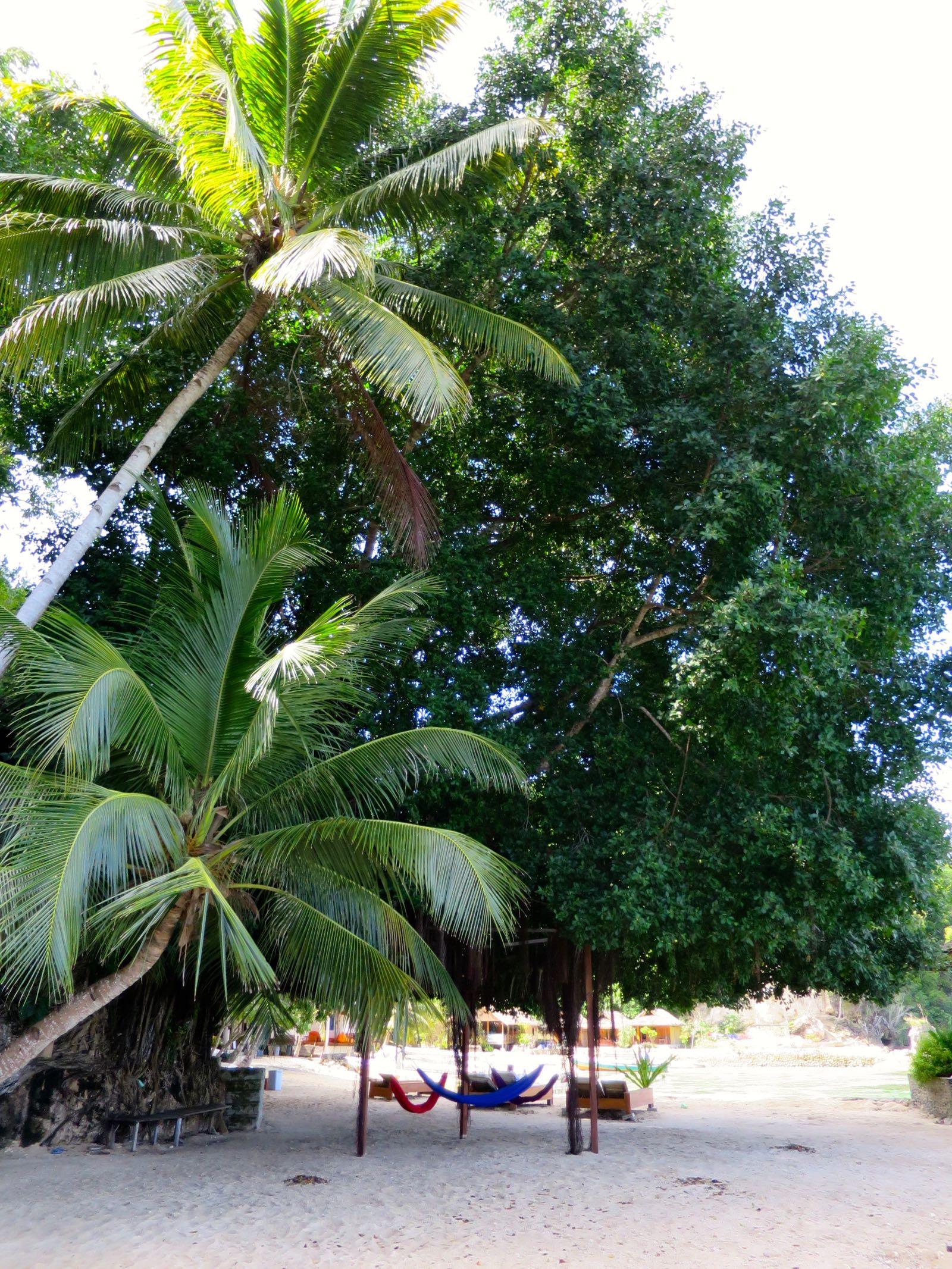 Iso Banyan tree varjosti hyvin päiväntasaajan auringolta