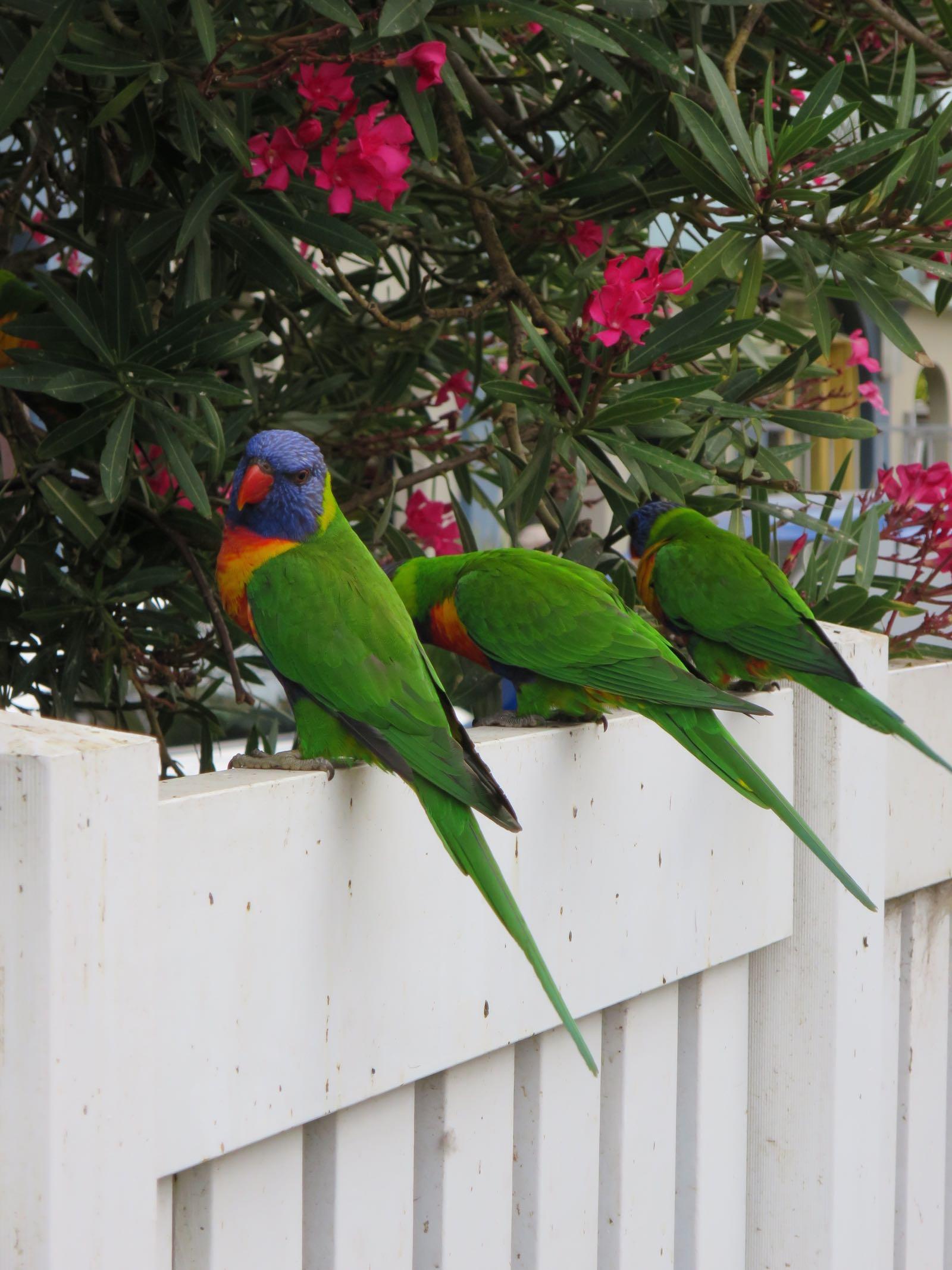 Luonnonvaraisia papukaijoja St.Kildassa! (Lorikeet)
