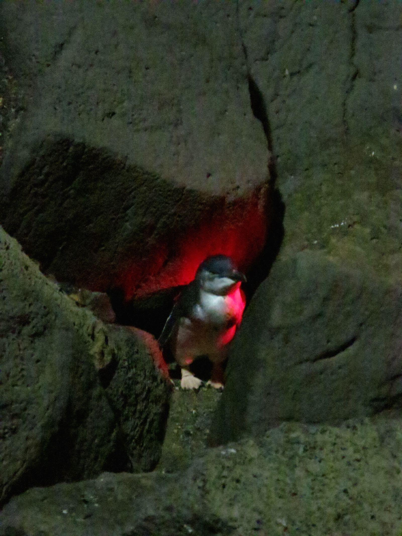 Pingviini St. Kildan aallonmurtajan läheisyydessä illalla. Näitä asuu iso yhdyskunta täällä.
