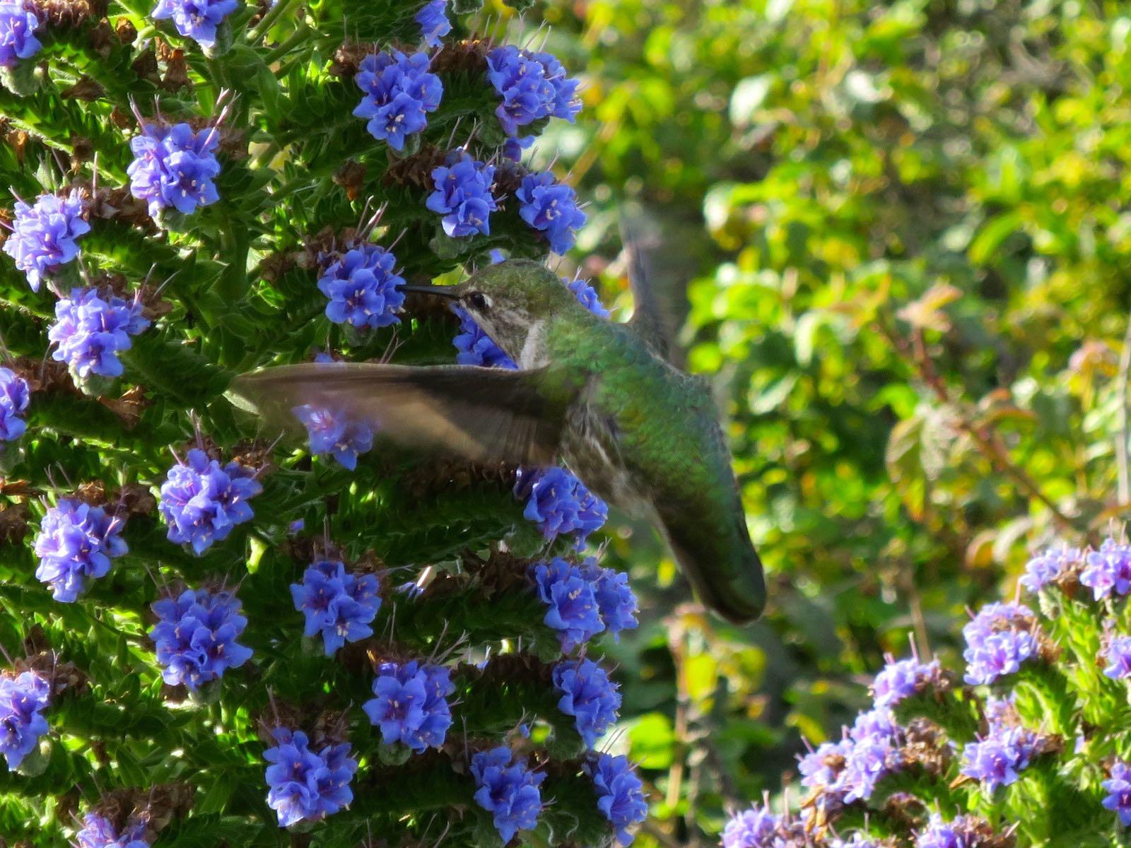 Bongattiin kolibri Golden Gatelta!